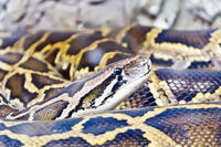 Photo of python head close up