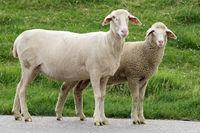 Familie Schaf
