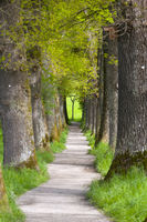 Baumallee mit vielen alten Eichenbäumen  und Fußweg im Frühling