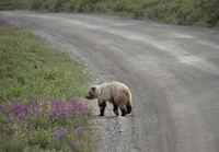 Grizzly Bear in Denali National Park Alaska