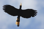 Pied Hornbill - Borneo-Malaysia _0013.jpg