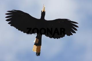 Pied Hornbill - Borneo-Malaysia _0013.jpg