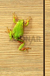cute green tree frog climbing on furniture ( Hyla arborea )
