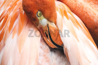 Close up of pink Flamingo with head in featers