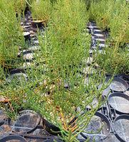 Queller, Europaeischer, Salicornia, europaea