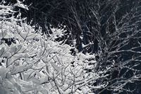 Branches covered with snow