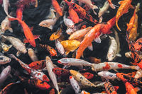 many koi fish, japanese koi carp fishes