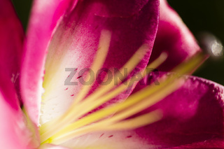 Lilienblüte