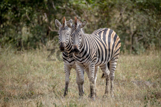 Two Zebras bonding together in Kruger.