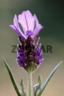 Bluetenmakro des Schopf-Lavendels