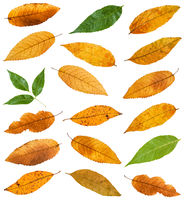 set of various leaves of ash trees isolated