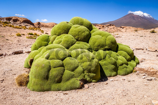 Rock covered with moss in Bolivian sud lipez