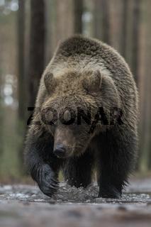 selbstbewußt... Europäischer Braunbär *Ursus arctos*
