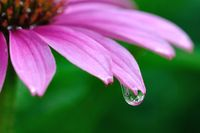 Raindrop on Purple Coneflower