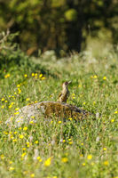 Green woodpecker sitting on a stone at a meadow and looking up