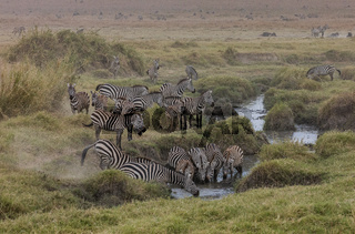 Zebra Herde beim Trinken im Serengeti Nationalpark