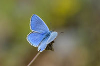 Hauhechel Blaeuling, Polyommatus icarus, Male Common Blue Butterfly
