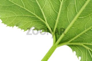 Shaggy  green leaf
