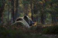 ruhend im Unterholz... Europäischer Braunbär *Ursus arctos*