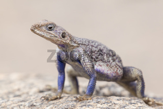 Mwanza flat-headed rock agama, Serengeti National Park, Tanzania.