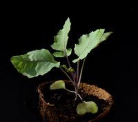 Keimling, Kohlrabi, Brassica oleracea var. gongylodes