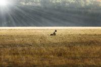 fallow deer stag resting on meadow in sunrise orange light ( Dama )