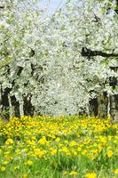 Blühende Apfelbäume in einer Plantage