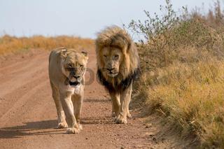 Lions Kruger National Park