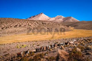 Herd of llamas grazing on the Altiplano