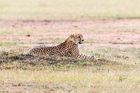 Cheetah lying on the savanna and looking