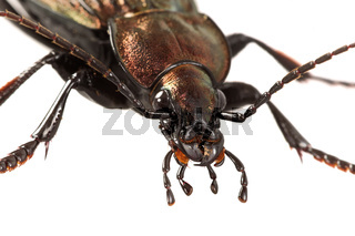 Detail of head of ground beetle (Carabus ullrichii)