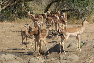 herd of impalas kruger National Park South Africa