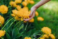 Female hand touching tulip