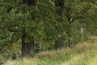 Eiche (Quercus)