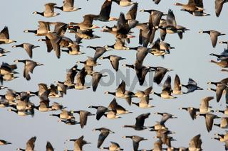Nonnengaense im Flug Zingst Ostsee