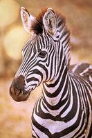Junges Steppenzebra, Südafrika, Kruger Nationalpark, Young Plains Zebra, Kruger NP, South Africa