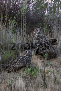 nebeneinander... Europäischer Uhu *Bubo bubo*, zwei Uhus sitzen während Abenddämmerung in Böschung
