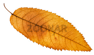 back side of autumn yellow leaf of ash tree