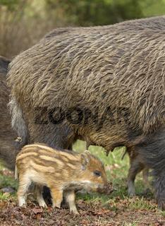 Wildschwein mit Jungtieren (Sus scrofa)