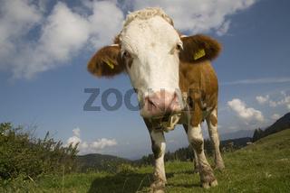 Milchkuh auf Weide im Nationalpark Kalkalpen, Oberösterreich, Österreich