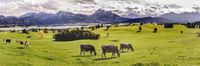 Kuhherde auf einer Alm im Allgäu am Forggensee