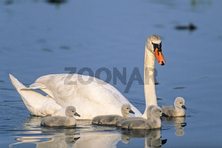 Hoeckerschwan, in der Regel legt das Weibchen 4 Eier  -  (Foto Hoeckerschwanfamilie)