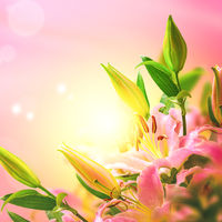 Beautiful lily flower blooming bouquet and sun square background. Greeting card template. Toned image. Summer nature