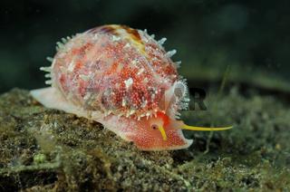 Erosaria sp., Porzellanschnecke, red cowry