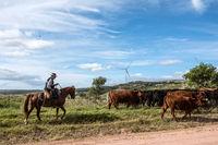 Aigua, Uruguay: Marth 31, 2017 - Gaucho herding cows near windmills on the Cerro Catedral in the Maldonado Department