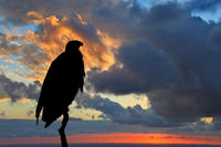 Magic silhouette of the African Fish - Eagle