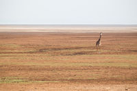 Solitary giraffe in Amboseli national park, Kenya.