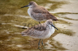 Willets (Tringa semipalmata)