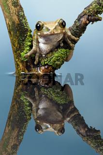 Pfau-Baum-Frosch (Leptopelis vermiculatus)