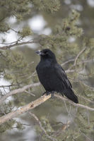 Schnee am Schnabel... Kolkrabe *Corvus corax*